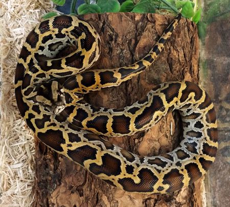 Picture for category Burmese Pythons
